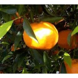Mandarini - 17 kg